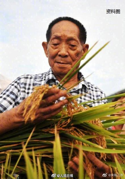 How to carry out the variety cultivation and core technology research of salt-tolerant rice?
