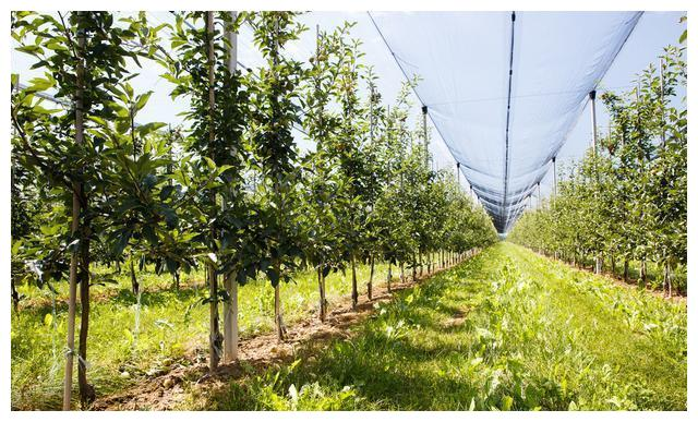 A good way to improve the soil in the orchard-deep ripening, do you really understand?